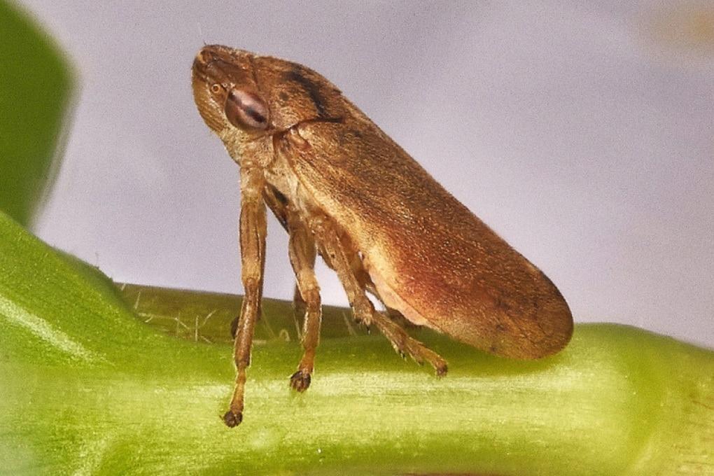 Xylella fastidiosa: il batterio killer degli olivi