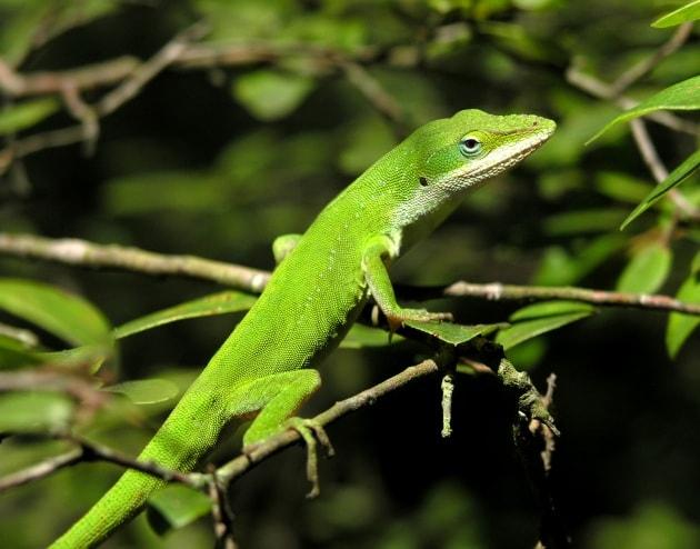 Le lucertole e la genetica della coda che ricresce