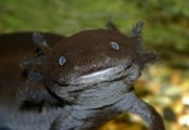 axolotl-black_low