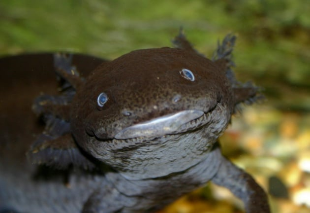 La rigenerazione: Wolverine, Ramarro e l'axolotl