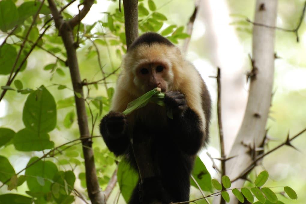 La caccia agli insetti ha sviluppato il cervello (delle scimmie)