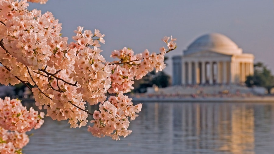 cherry_blossoms_dc