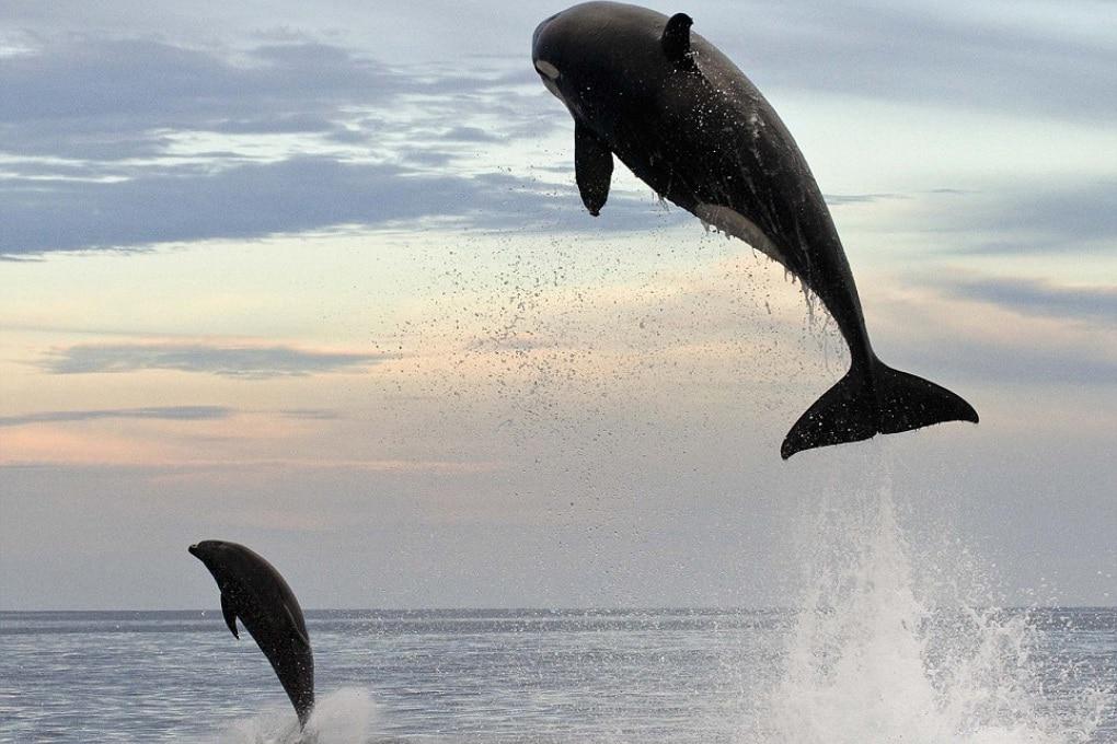 Orca attacca delfino: il terrore corre sui mari