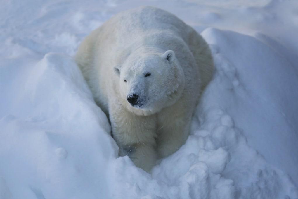 Sequenziato il genoma dell'orso polare