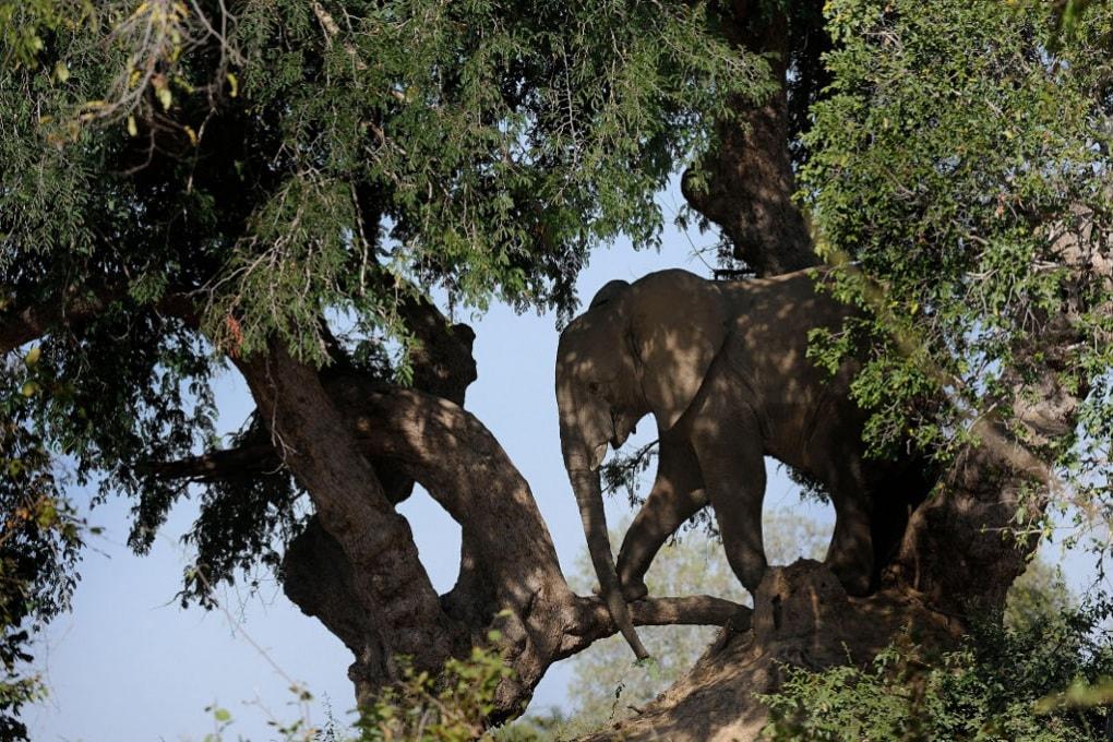 L'elefante goloso si avventura su un albero