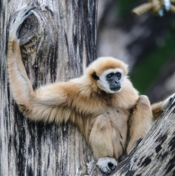 Scoperti i misteri dei gibboni grazie al loro DNA
