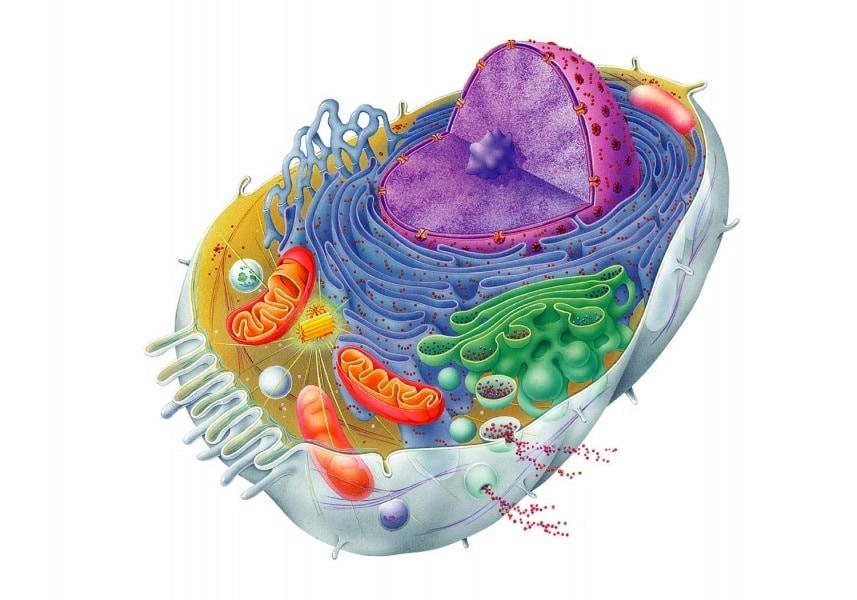 cellula1