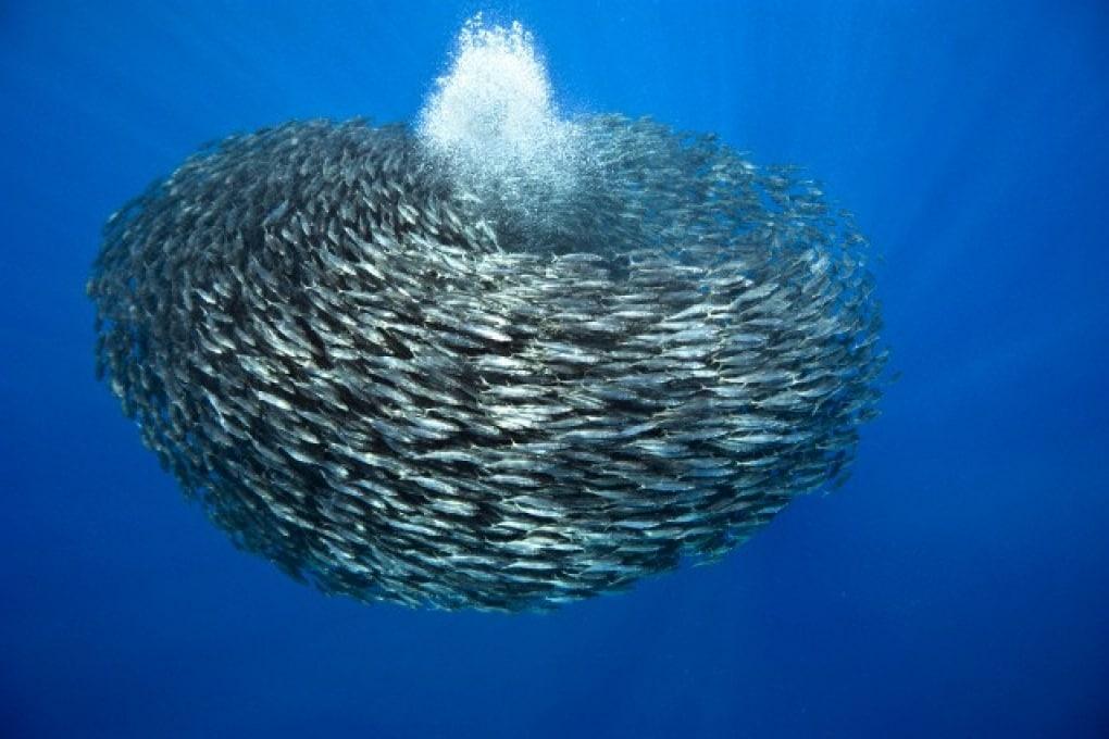 Perché i pesci formano banchi?