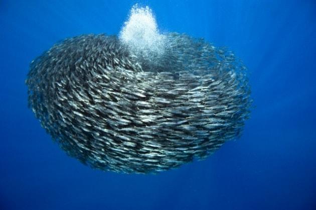 Perch i pesci formano banchi for Pesci per laghetti esterni