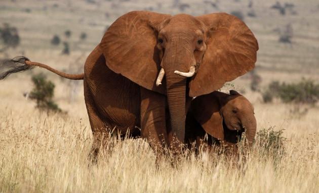 Gli elefanti riconoscono accento e genere delle voci umane