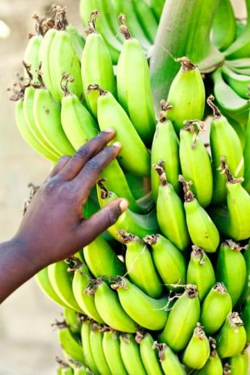 Le super banane ogm contro la carenza di vitamina a for Albero di banane