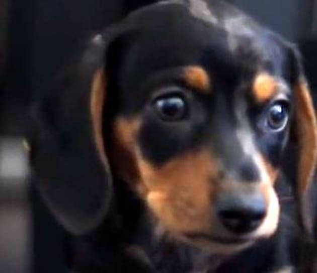 Animali: per cani 'sguardo d'amore' come bebè, guardarli stimola ossitocina