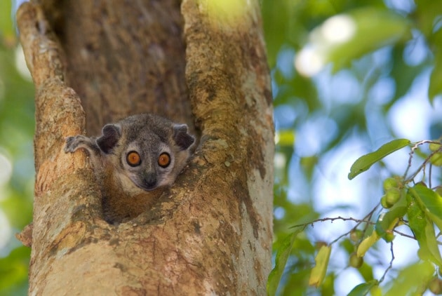 Le chiacchiere al bagno dei lemuri asociali