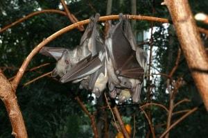 I pipistrello della frutta paglierino (<i>Eidolon helvum</i>).