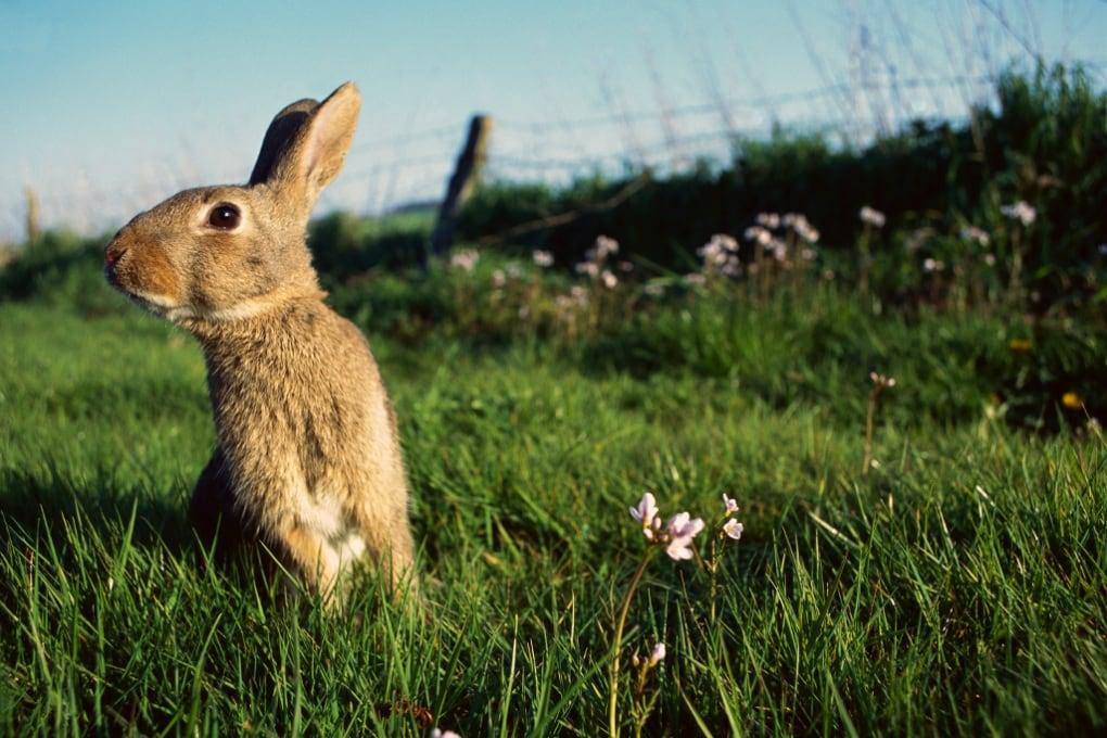Conigli come l'uomo: in città hanno tane più piccole