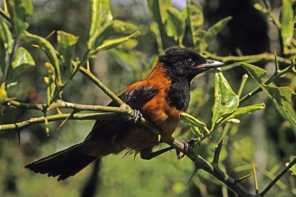Esistono uccelli velenosi?