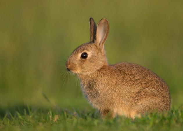 Perché i conigli muovono il naso?