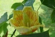 800px-liriodendron_tulipifera_flower