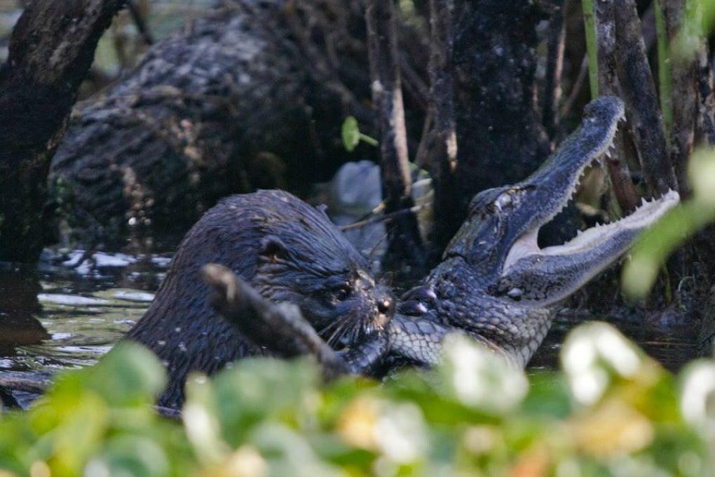 Per pranzo, l'alligatore: parola di lontra