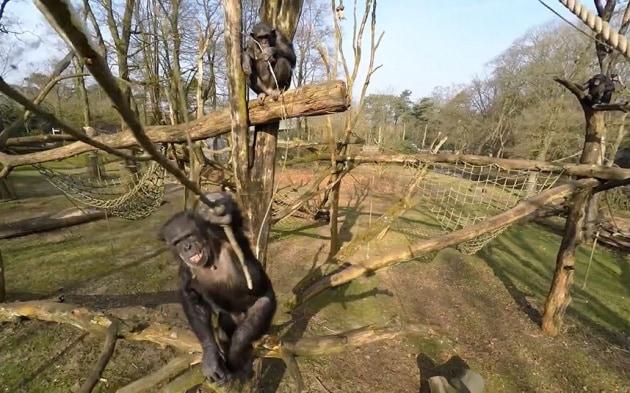 Drone invadente, lo scimpanzé lo abbatte