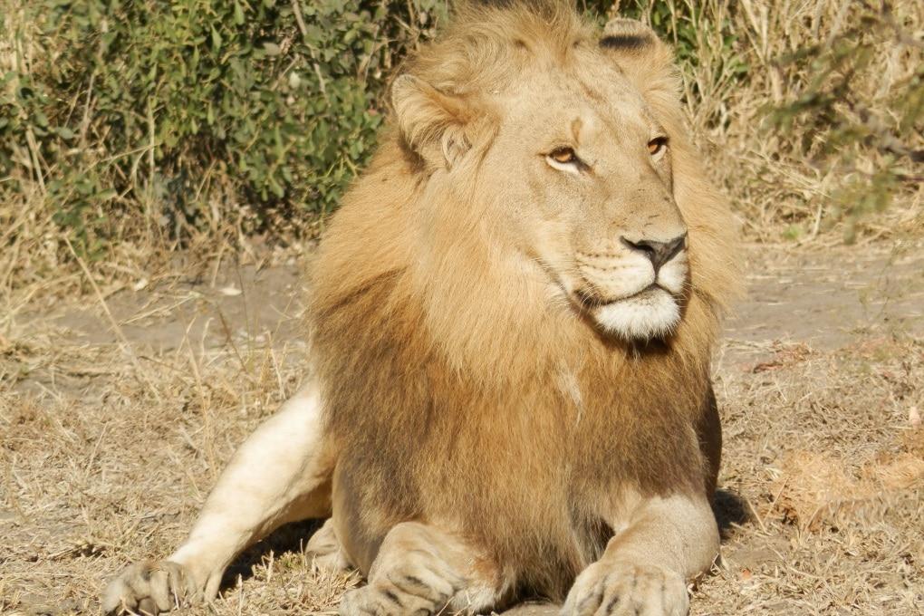 I leoni uccidono i propri cuccioli?