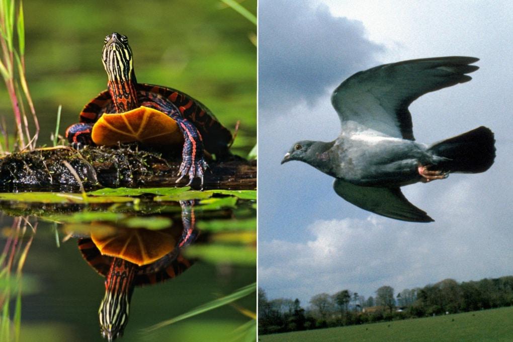 Tartarughe? Parenti di uccelli e coccodrilli