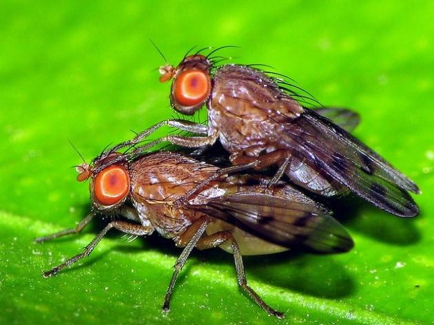 Sesso per restare in forma: parola di moscerini