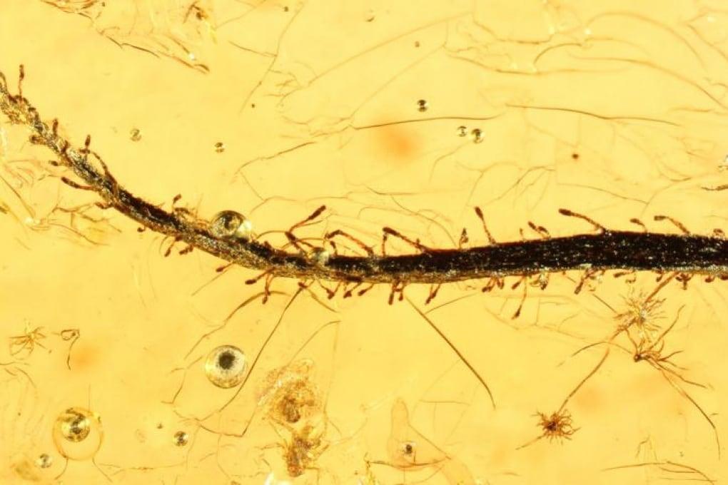 In una goccia d'ambra l'antenata delle piante carnivore