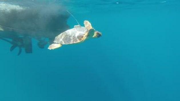 Go Go Luce, storia della tartaruga marina 'inseguita' dal satellite /FOTO