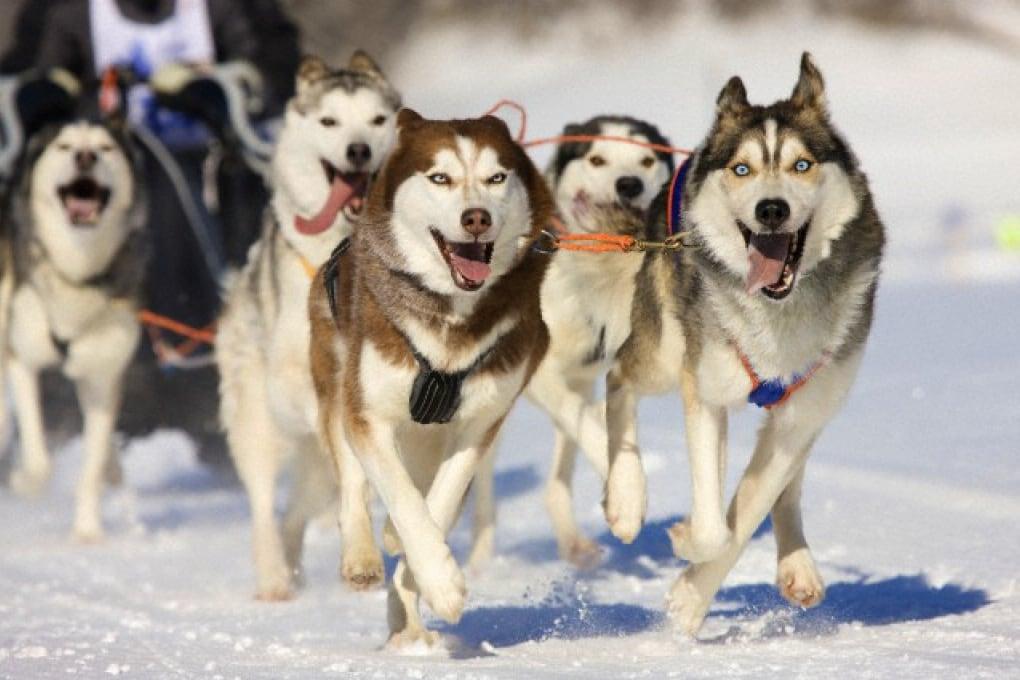 Perché i cani non si congelano le zampe stando nella neve o sul ghiaccio?