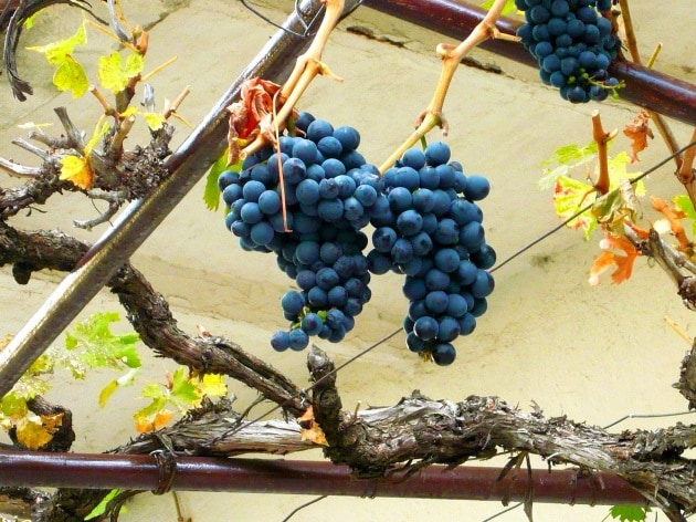 Perch non si pu vendere vino fragolino for Sognare uva fragola