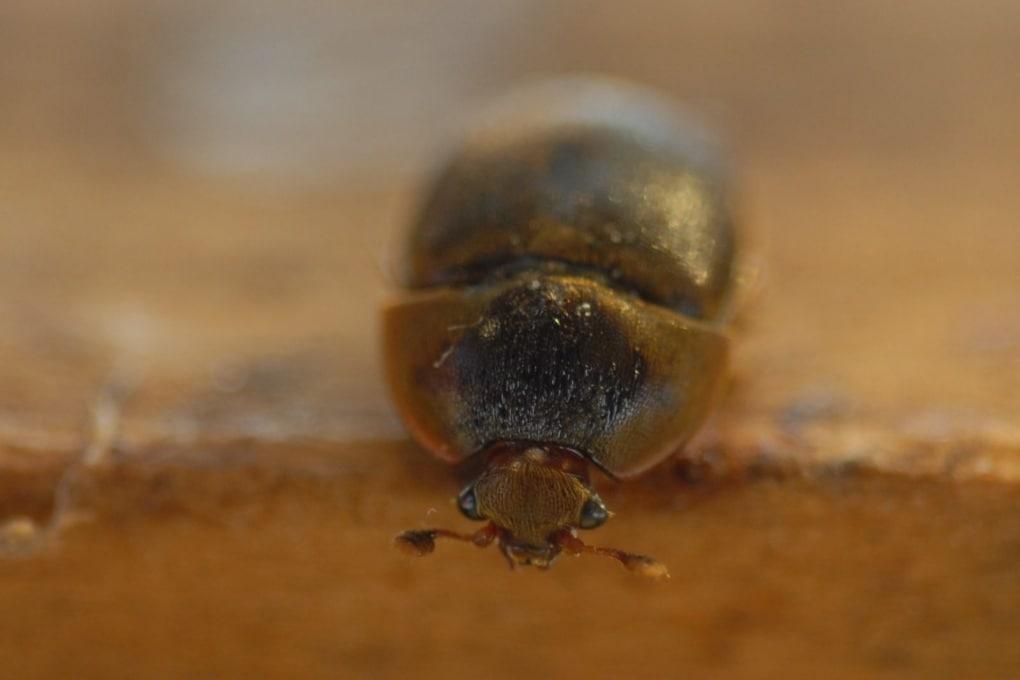 Il parassita che minaccia le api italiane