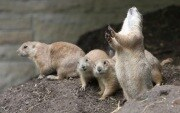 sn-prairiedogs