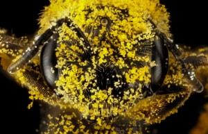 insetti, api, etologia, insetti impollinatori, comportamento degli insetti, comportamento delle api