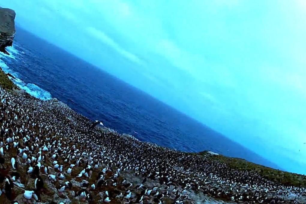 Una colonia di pinguini ripresa da un rapace