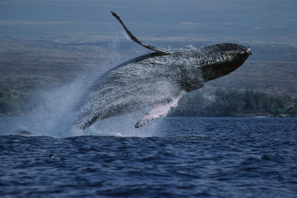 La caccia alle balene ha cancellato 3 milioni di esemplari in un secolo