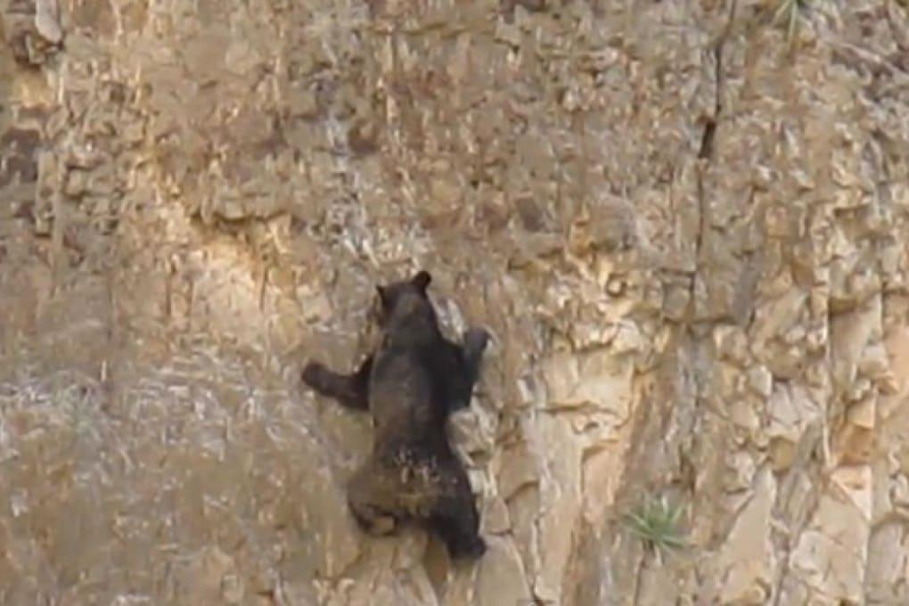 L'orsetto scalatore sulla parete di roccia