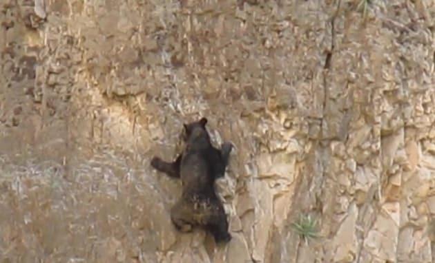 rock-climbing-bears-640x389