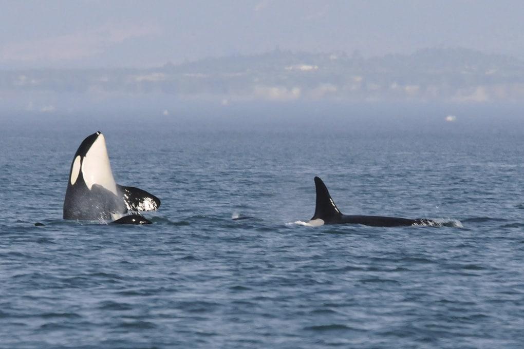 Orche in cattività imparano il linguaggio dei delfini