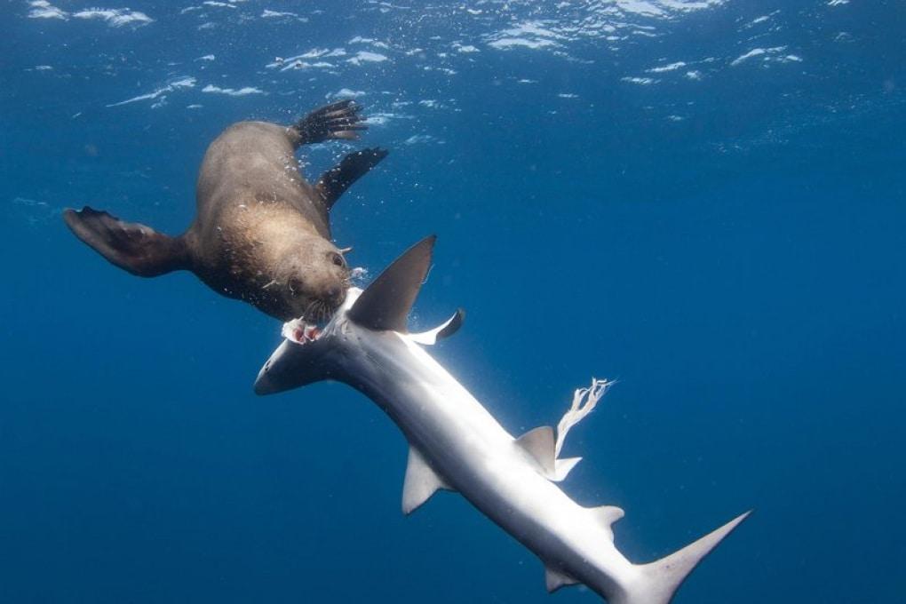 Otarie orsine del Capo mangiano viscere di squalo