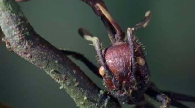 Che cosa sono gli insetti zombie?