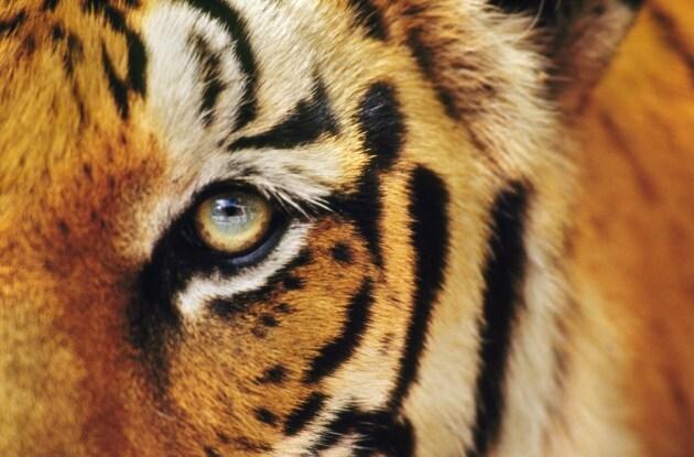 Con quale ritmo sterminiamo le specie viventi for Bengala asia