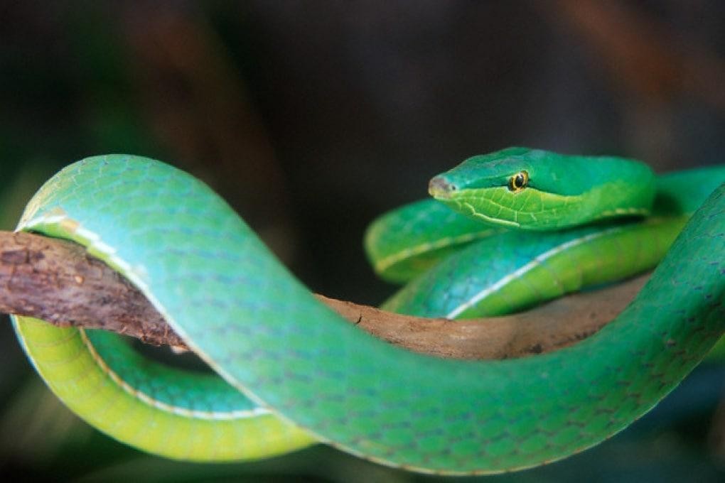 Così i serpenti hanno migliorato la vista dei primati