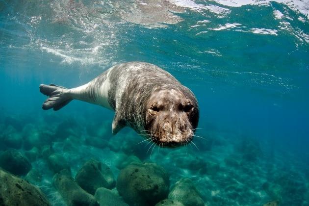 A tu per tu con la foca monaca