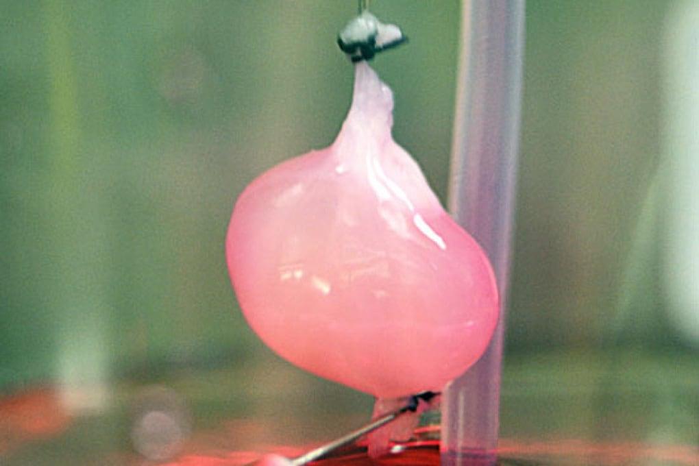 Il rene coltivato in laboratorio che funziona (in parte)