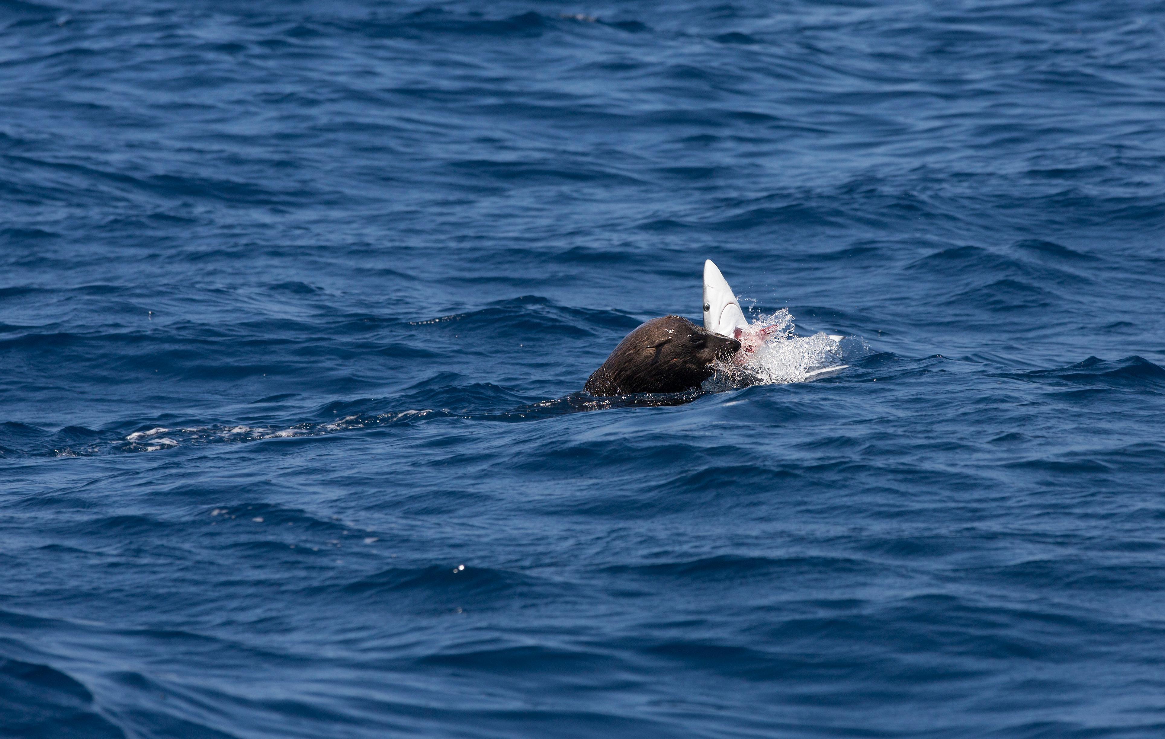 Otarie orsine del capo mangiano viscere di squalo for Stile architettonico del capo cod