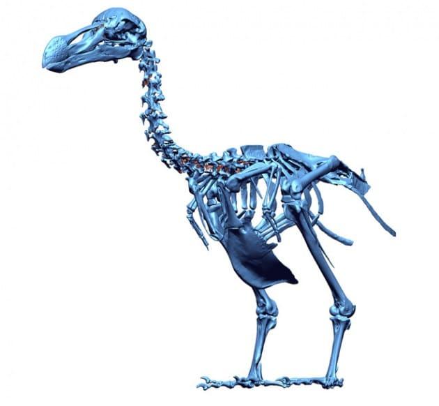 Il mitico dodo era un piccione gigante