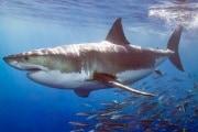 great-white-shark-010