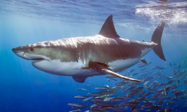 great-white-shark-010