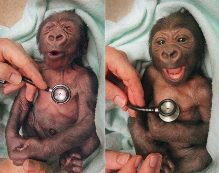 smiling-baby-gorilla